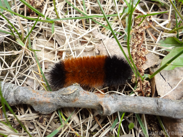 a close-up photograph of a whoolly bear caterpillar