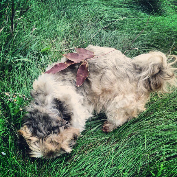 a photo of tibet the shih tzu with a leaf on his back