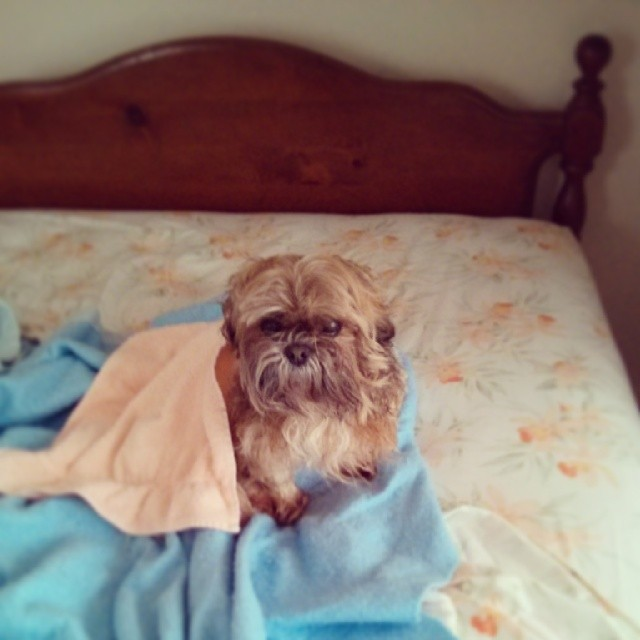 a photo f a wet shih tzu wrapped in a towel