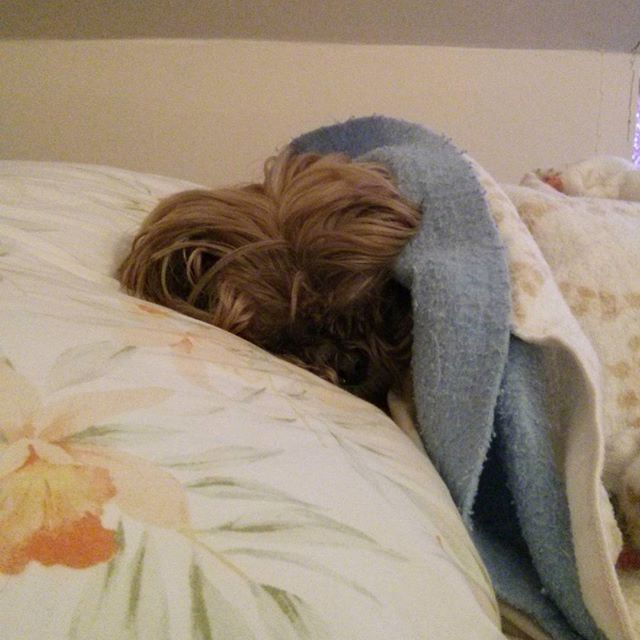 a photo of tibet the shih tzu tucked into bed
