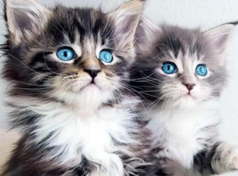 Qual a raça de gato mais docil para ter em casa