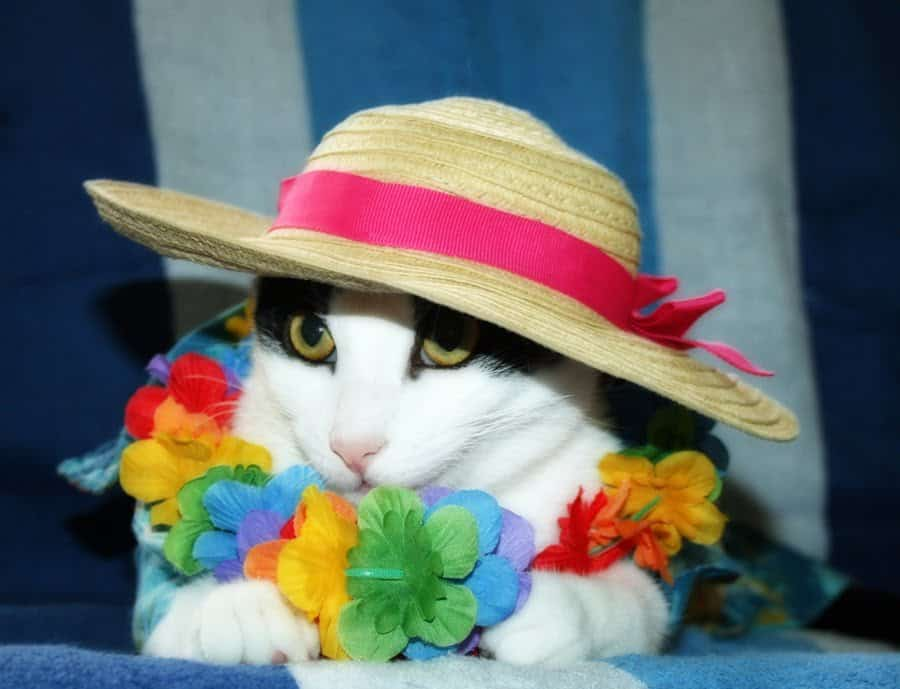 Vacation Cat Cute Cats In Hats