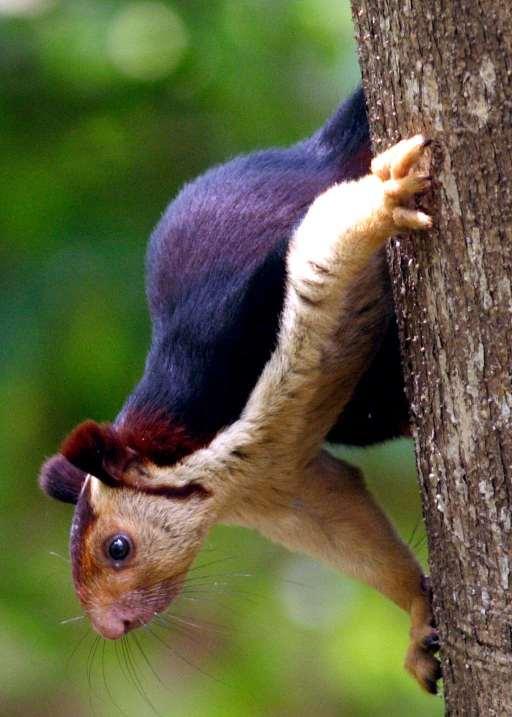 A Purple Squirrel