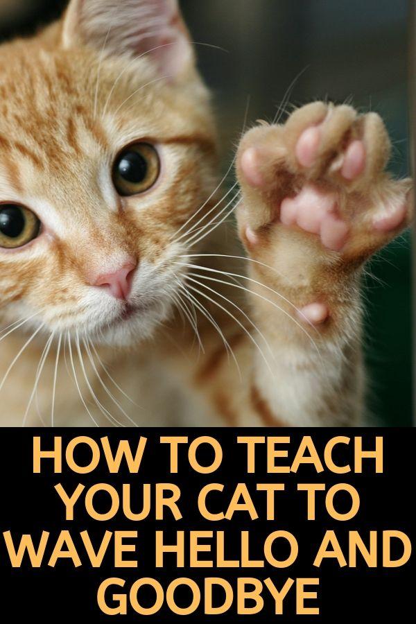 teach cat to wave hello goodbye