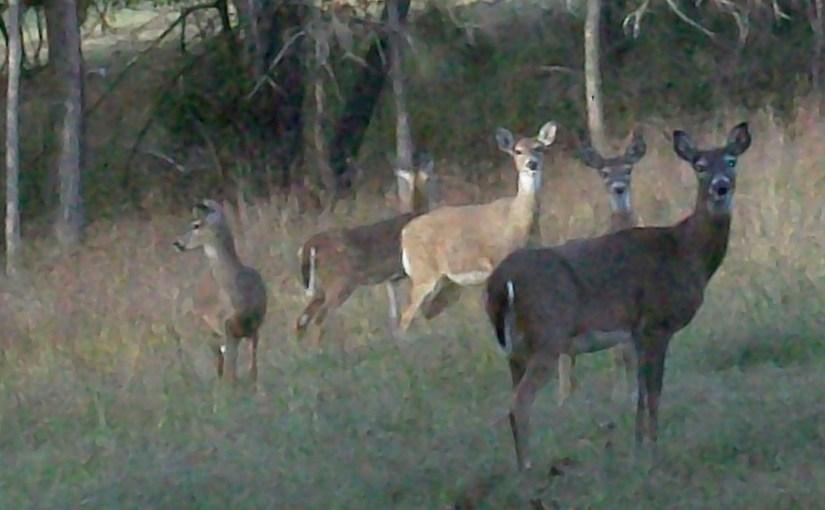 Deer in Wildlife Habitat At Rental Cabin On Beaver Lake Arkansas