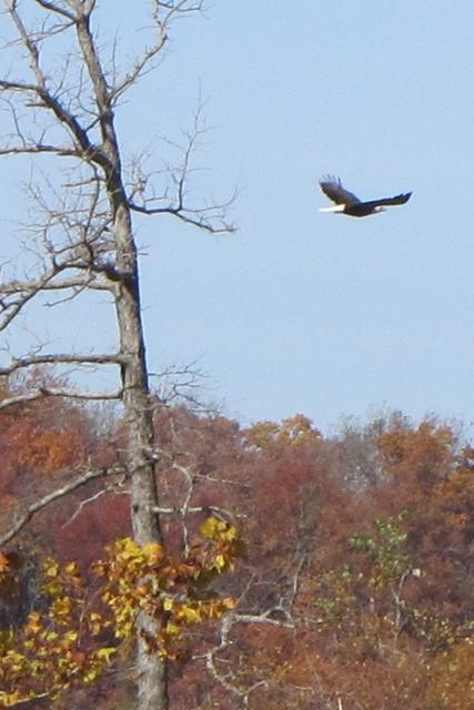 2012 11-04 Beaver Lake Eagles 101