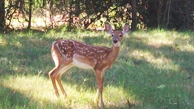 Deer in The Dedicated Wildlife Habitat At Your Next Vacation Rental Cabin on Horseshoe Bend Peninsula At Rogers Arkansas