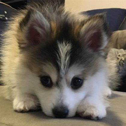 Cute Husky Puppies With Blue Eyes Wallpaper Pomsky Puppies Cute Puppy Pictures