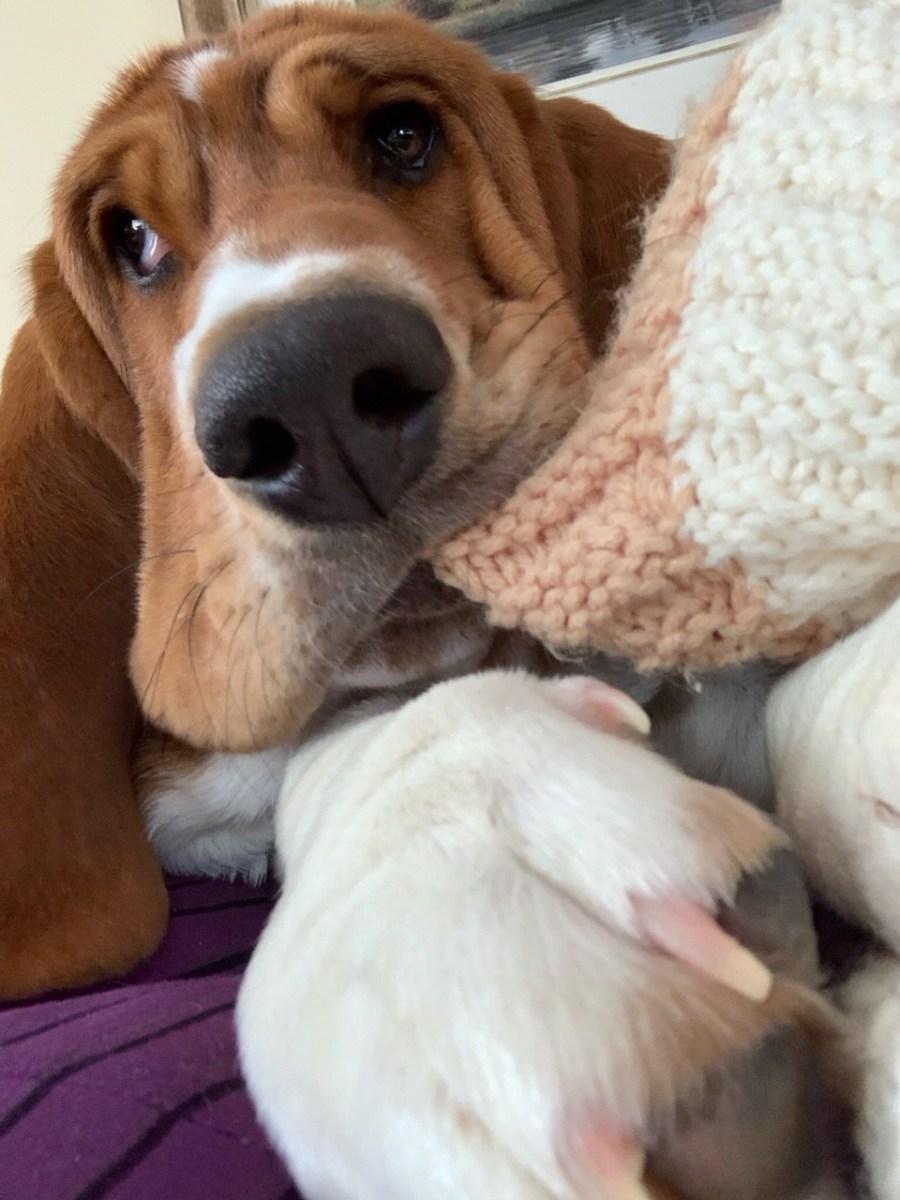 Baby Basset! - CUTETROPOLIS