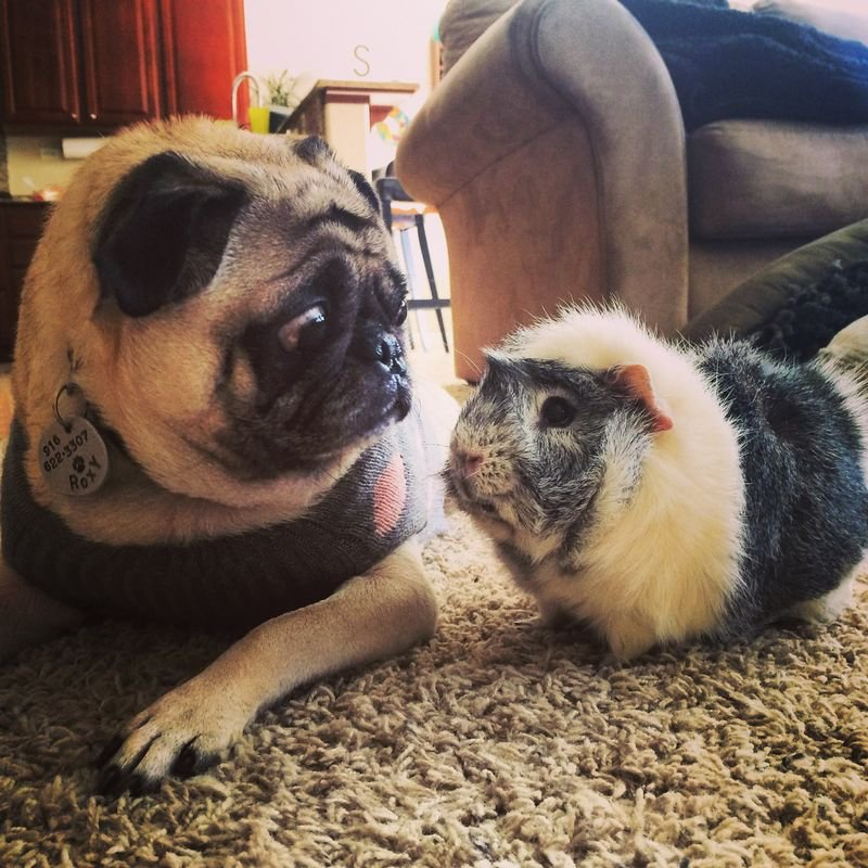 Baby Pug Dogs For Sale