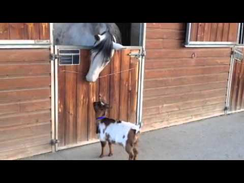 Bibi the Goat Plays with Her Horse Friend Video