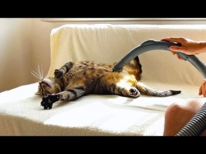 Cat Really Loves Being Vacuumed Video