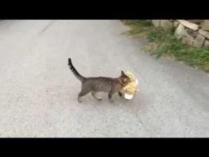 Cat Went To Neighbors To Borrow Toy