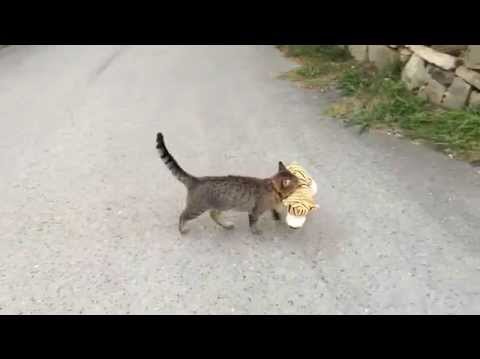 (VIDEO) Cat went to the neighbors to borrow a tiger plush toy