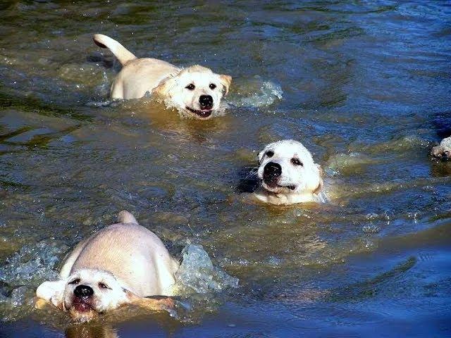 Labrador Father Teaches Puppies To Swim