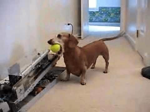 (VIDEO) Dachshund Plays Fetch By Himself