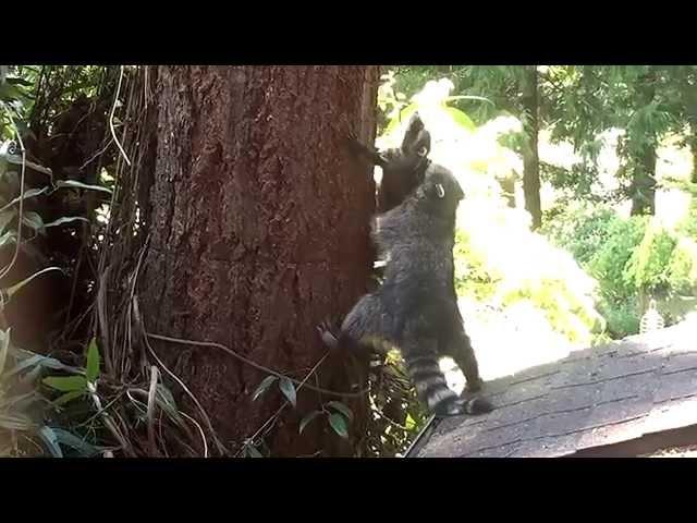Raccoon Mom Teaches Her Cub How To Climb A Tree