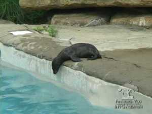 Baby Sea Lion Swimming Lessons From Mom
