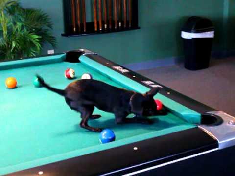 Chihuahua Dog Playing Pool