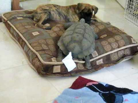 Great Dane Puppy vs 75 Year Old Tortoise