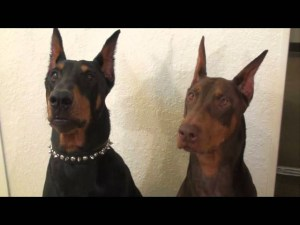 Doberman's Funny Disappointed Look video