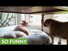 VIDEO: Bulldog Throws Temper Tantrum For His Stolen Bed