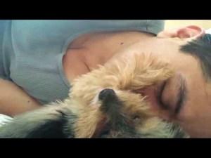 Little Yorkie Petting His Human