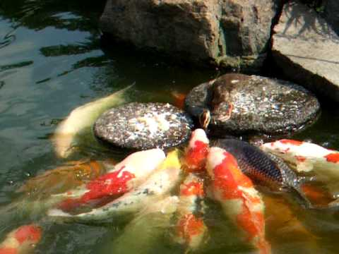 Baby Duck Feeds Fish video