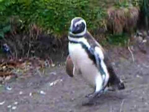 Penguins Playing Follow The Leader