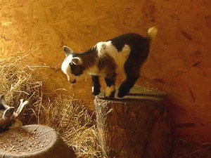 Cute Pygmy Goat Kid Playing