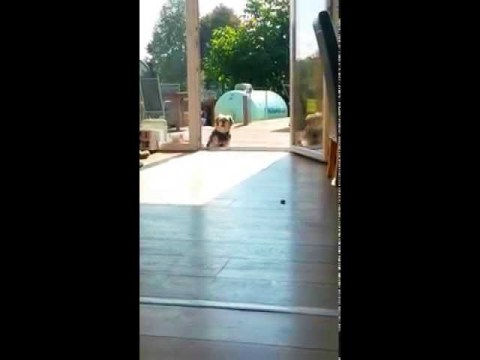 Dog Thinks Terrace Door Is Closed