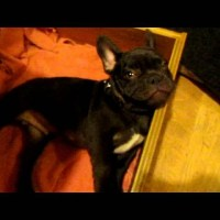 French Bulldog Puppy Arguing Over Bedtime