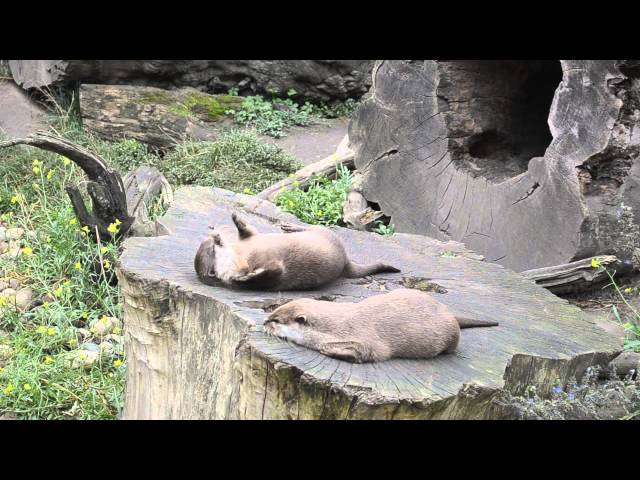 If You Give An Otter A Rock...