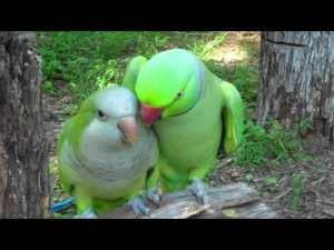 (VIDEO) JoJo the Indian Ringneck and Buddy the Quaker Parrot