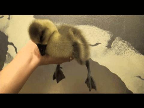 Sleepy Gosling - The Translation