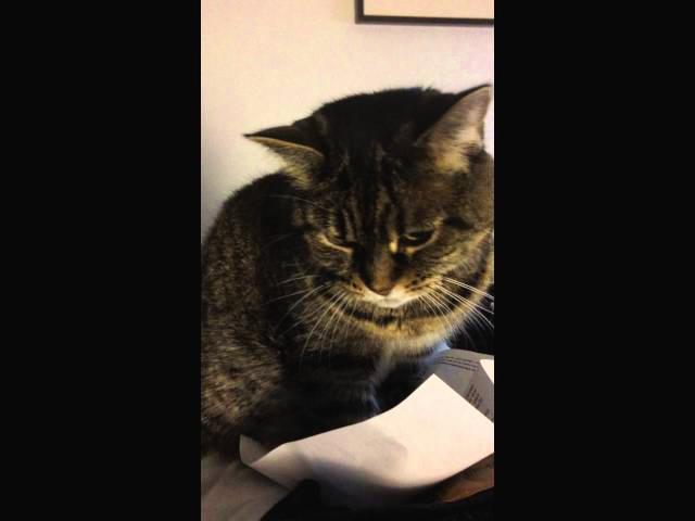 Bored Cat Flicking Paper