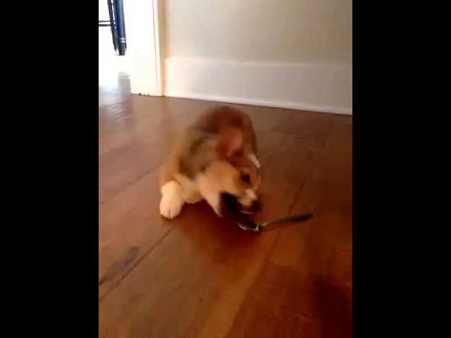 Corgi Puppy and the Scary Spoon