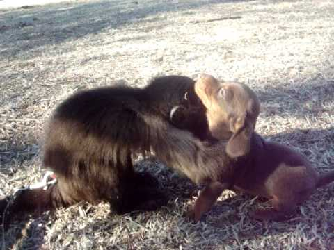 Dachshund Puppy Loves Baby Monkey