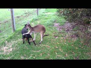 Kangaroo and Rottweiler Puppy Love Each Other