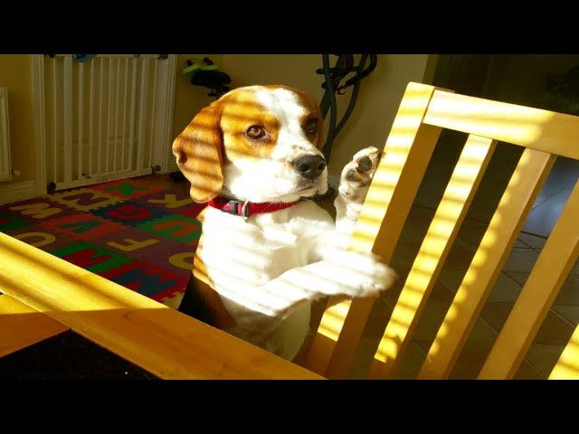Smart Dog Wants To Trade Toy For Breakfast