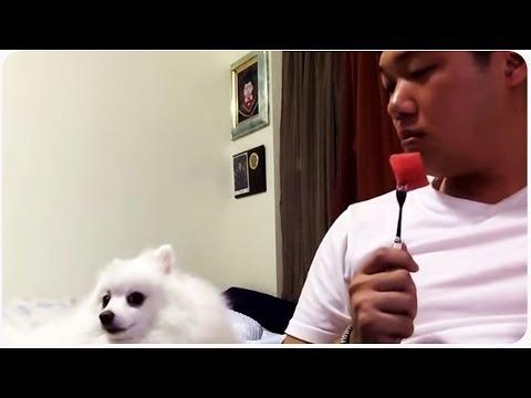 Pomeranian Dog vs Guy Eating Watermelon