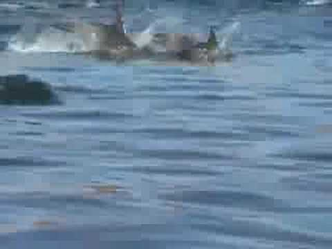 Dolphin Stampede - Absolutely Amazing!