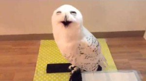 Snowy Owl Appears To Be Smiling