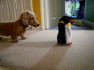 Cute Dachshund Puppy Vs. Penguin Toy