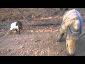 Baby Rhino and Lamb Playing Together