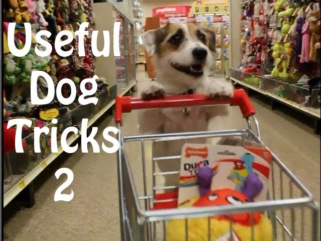Useful Dog Tricks Performed By A Jack Russell Terrier