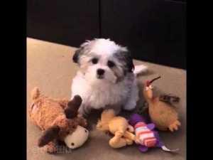Who's Your Best Friend? Maltese Shih Tzu puppy named Benji!