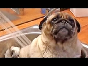 Barry the Cute Pug in the Tub