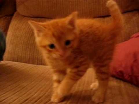Cute Orange Kitten Acting Tough