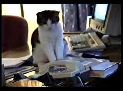 Cat Answers Phone funny cat video